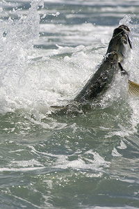 The swell may be flat, but the tarpon are biting.